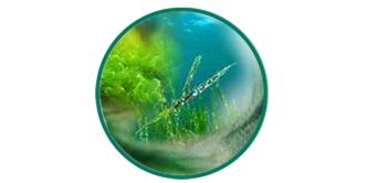 Algae, Greentea, Spirulina